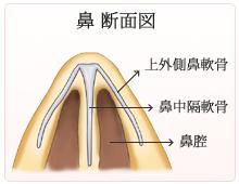 鼻 断面図