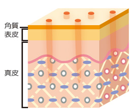肌を修復する過程で皮膚の再生が行われます説明画像