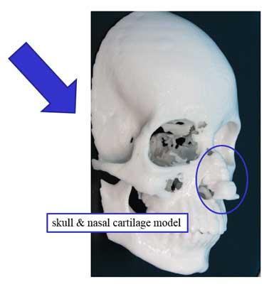 skull & nasal cartilage model